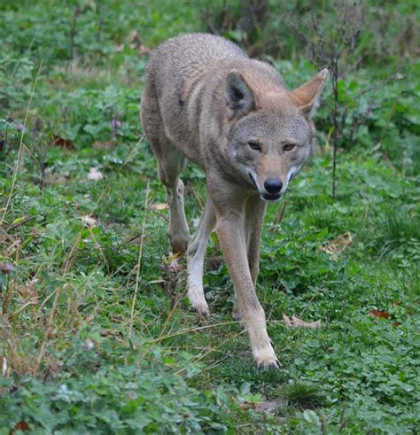 Learn About Red Wolves - Akron Zoo Mammals