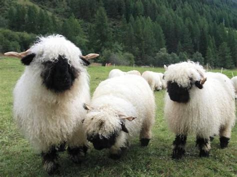 Larry, Curly, and Moe [fuzzy black-nosed sheep] | Cute