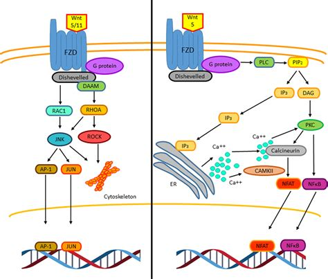 Frontiers   Activation of the Wnt Pathway by Mycobacterium
