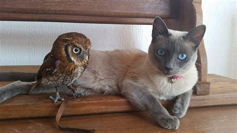 Siamese Cat and Little Owl Are the Closest of Friends and