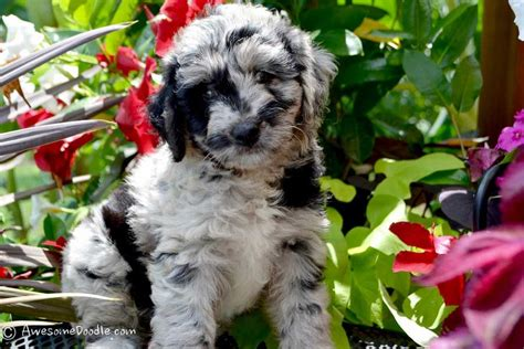 AussieDoodle Puppies for Sale - New litter coming soon
